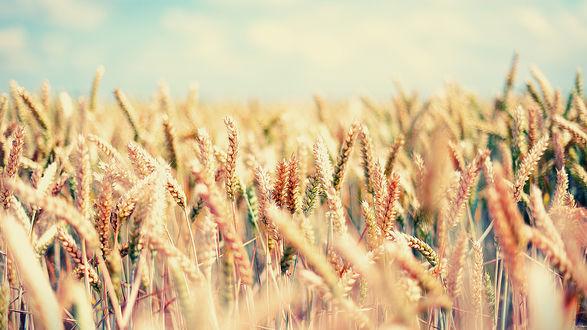 Обои Поле золотой пшеницы, колосья