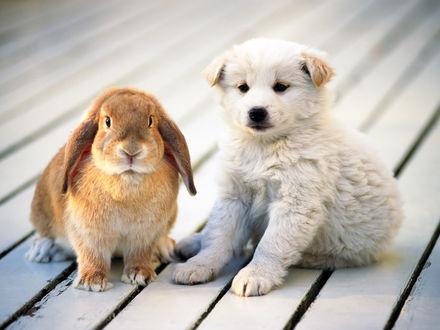 Обои Белый щенок сидит рядом с кроликом