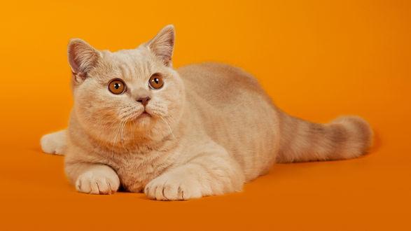 Обои Красивый кот на оранжевом фоне