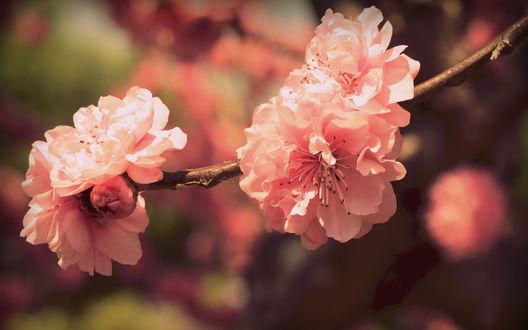 Обои Цветущие цветки сакуры