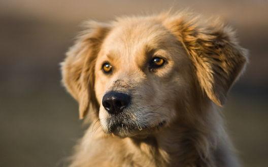 Обои Красивый пёс, дворняга с добрыми глазами