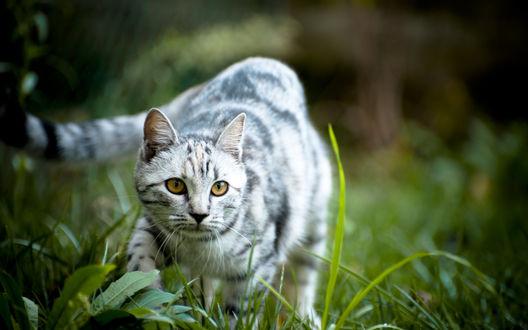 Обои Пепельно-белый кот пристально наблюдает за кем-то