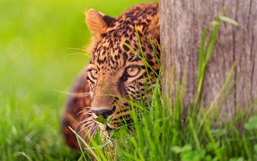 Обои Леопард спрятался за деревом