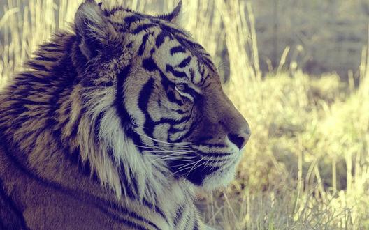Обои Красивый тигр