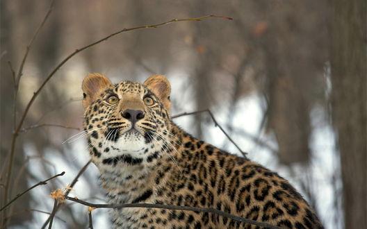 Обои Пристальный взгляд Русской голубой кошки на рабочий стол  Взгляд Леопарда