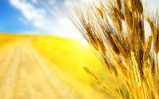 Обои Колосья пшеницы на фоне золотого поля и ярко-синего летнего поля