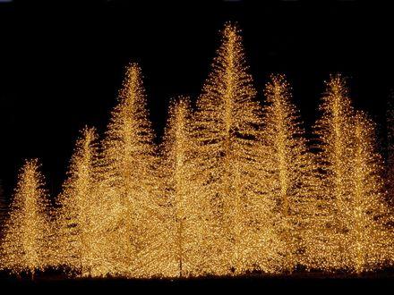 Обои Золотые ёлки светятся огнями в ночи