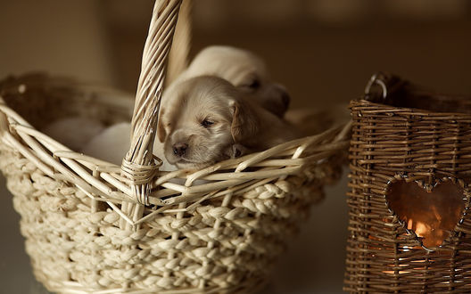 Обои Два щенка в корзине