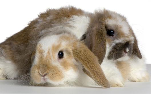 Обои Два кролика лежат друг на друге
