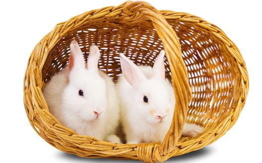 Обои Два белых кролика сидят в корзине