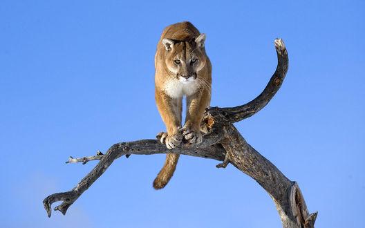 Обои Кугуар (горный лев) внимательно наблюдает за жертвой с дерева