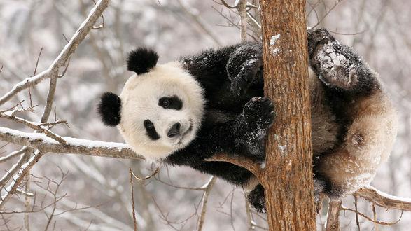 Обои Панда висит зимой на дереве