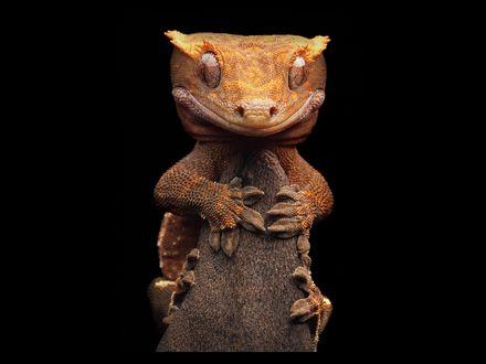 Обои Макро фотография  какой-то ящерицы от Игоря Сивановича / Igor Siwanowicz