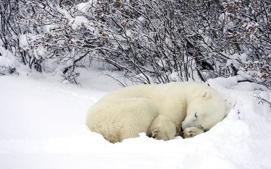 Обои Белый медведь спит в снегу