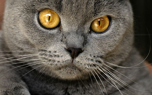 Обои Серый желтоглазый британский кот
