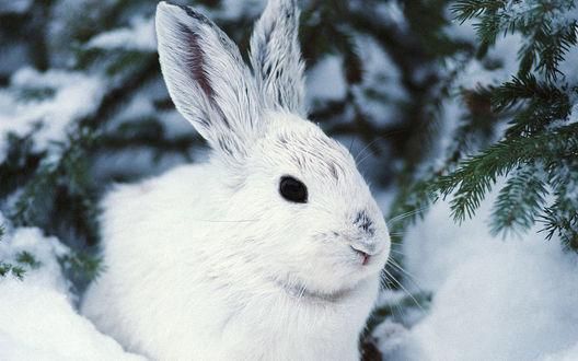 Обои Белый заяц сидит под елкой зимой