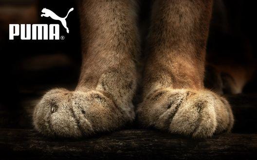 Обои Мохнатые лапы пумы (Puma)