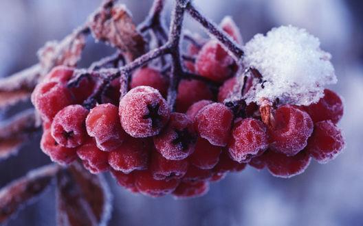 Обои Кисть красной рябины на ветке в снегу