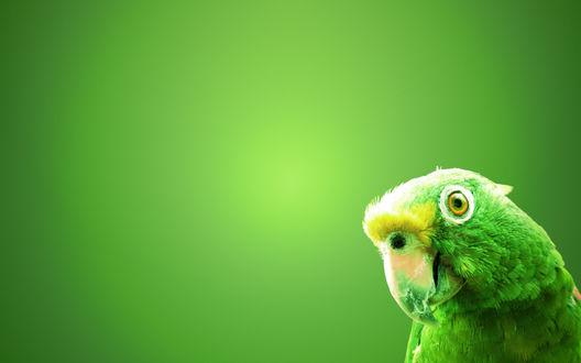 Обои Попугай на зеленом фоне