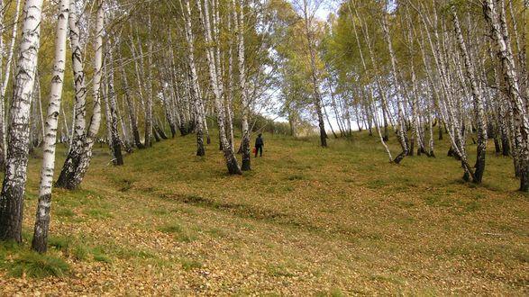 Обои Берёзовая роща осенью, среди деревьев грибник с ведром