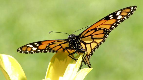 Обои Оранжевая бабочка на лепестке
