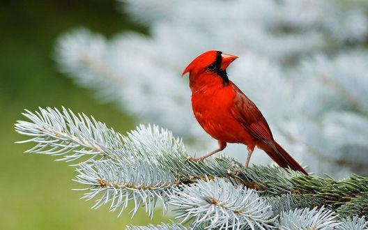 Обои Птица красный кардинал сидит на заснеженной ветке ели