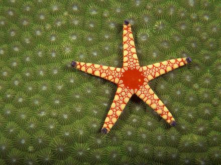 Обои Красная морская звезда на зеленых кораллах