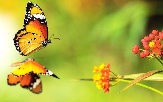 Обои Бабочка подлетает к цветку