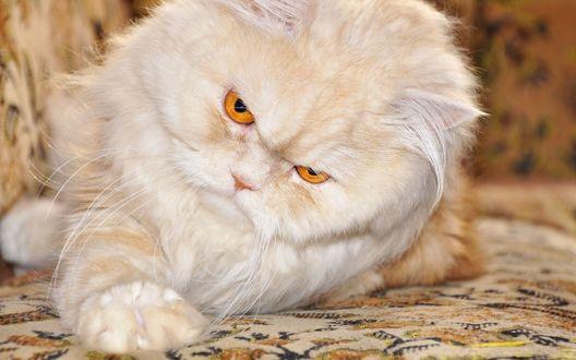 Обои Белый кот