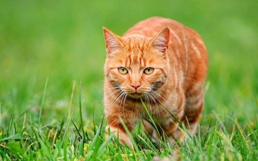 Обои Рыжий кот гуляет по траве