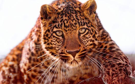 Обои Красивый ягуар
