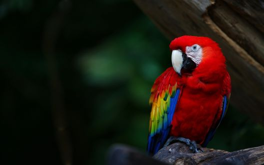 Обои Попугай Ара