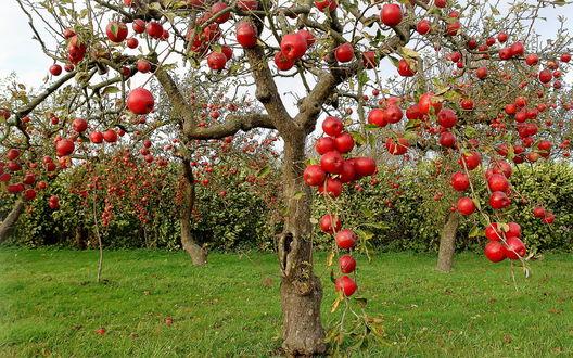 Обои Яблоня с большими красными плодами