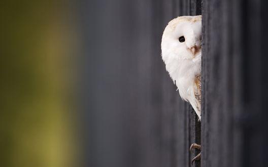 Обои Полярная сова сидит в заборе