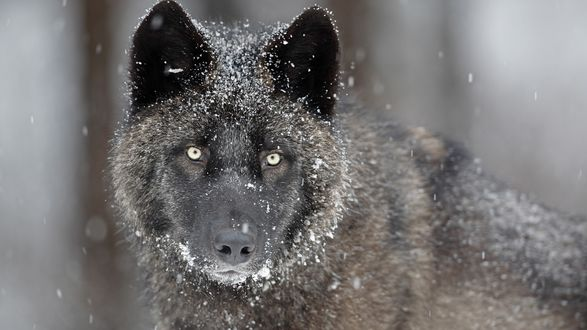 Обои Чёрный волк в снегу