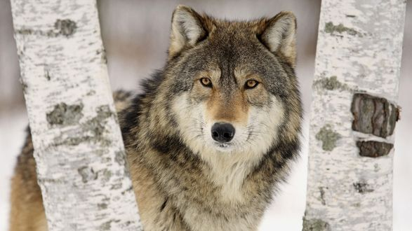 Обои Волк стоит между берез