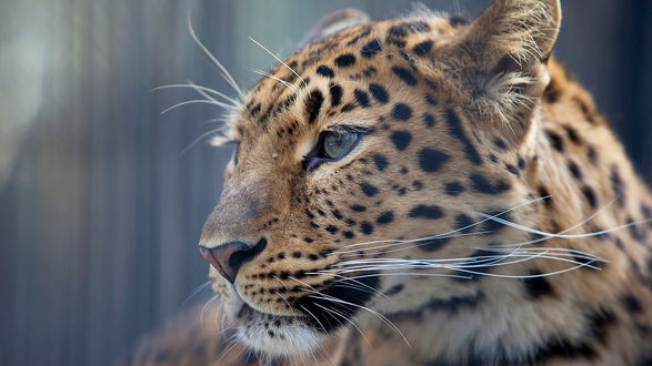 Обои Морда леопарда в профиль