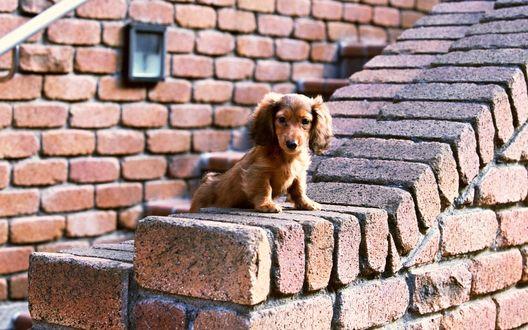 Обои Смешной щенок таксы сидит на бордюре возле лестницы