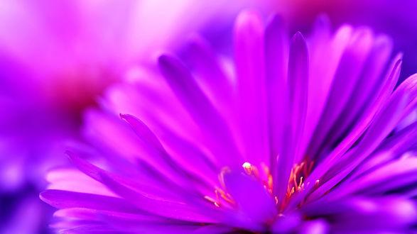 Обои Ярко-фиолетовый цветок