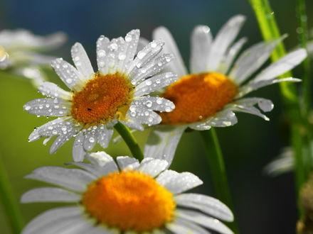 Обои Белые ромашки покрытые каплями воды