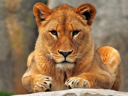 Обои Молодой лев сидит на камне