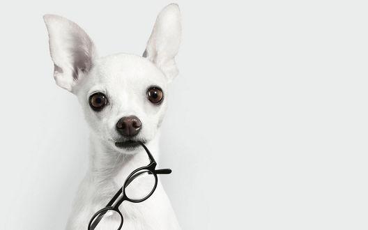 Обои Белая собачонка держит очки в зубах