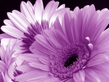 Обои Фиолетовые цветы на черном фоне