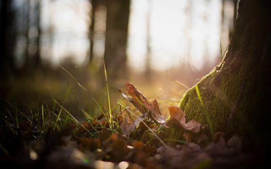 Обои Дубовые листья лежат в траве