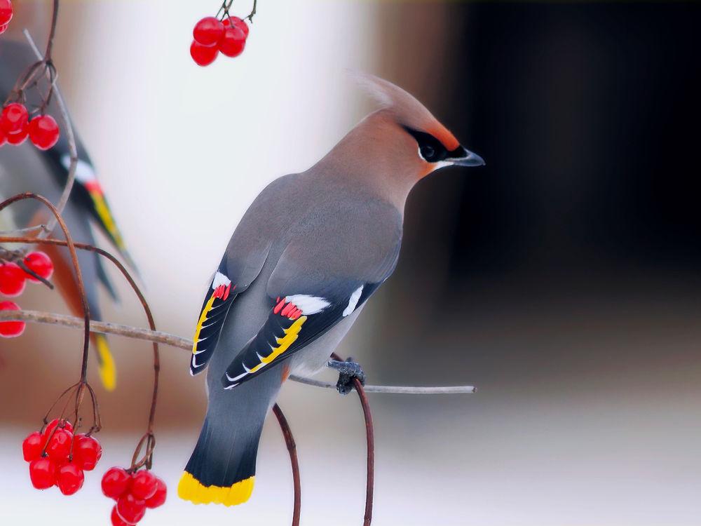 Обои для рабочего стола Птица свиристель сидит на ветке калины