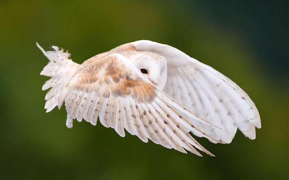 Обои для рабочего стола Маленькая белая сова в полете