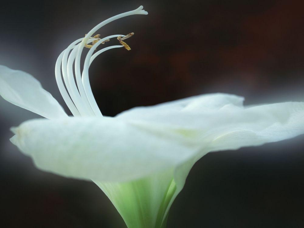 белая лилия обои на рабочий стол