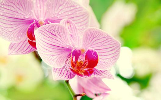 Обои Розовые орхидеи