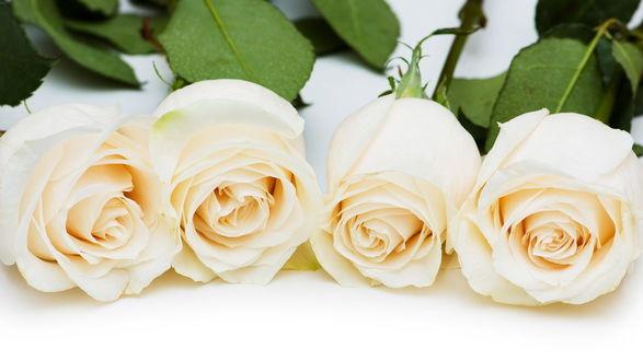Обои Белые розы лежат на белом столе