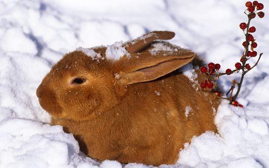 Обои Кролик сидит на снегу возле веточки с ягодами